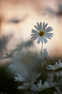 Oxeye Daisy (Leucanthemum Vulgare) Flower Head at Dusk. Scotland, UK, June by Mark Hamblin
