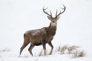 Red Deer Stag (Cervus Elaphus) on Open Moorland in Snow, Cairngorms Np, Scotland, UK, December by Mark Hamblin