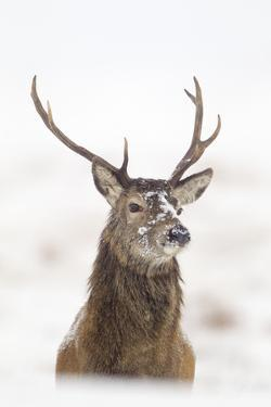 Red Deer Stag (Cervus Elaphus) Portrait in Snowy Moorland, Cairngorms Np, Scotland, UK, December by Mark Hamblin