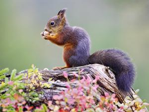 Red Squirrel, Adult on Fallen Log Eating a Hazelnut, Norway by Mark Hamblin