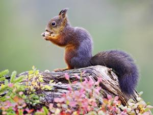 Red Squirrel, Adult on Fallen Log Eating a Hazelnut, Norway by Mark Hamblin