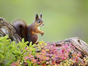 Red Squirrel, Portrait of Adult on Fallen Log in Autumnal Forest, Norway by Mark Hamblin