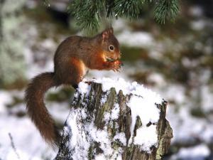 Red Squirrel, Sat on Stump in Snow Feeding, UK by Mark Hamblin