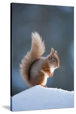 Red Squirrel (Sciurus Vulgaris) Adult in Snow, Cairngorms National Park, Scotland, February by Mark Hamblin