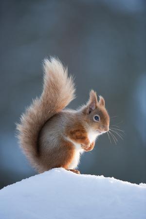 Red Squirrel (Sciurus Vulgaris) Adult in Snow, Cairngorms National Park, Scotland, February