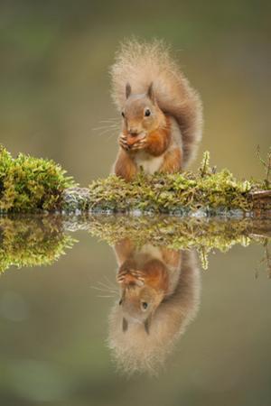 Red Squirrel (Sciurus Vulgaris) at Woodland Pool, Feeding on Nut, Scotland, UK, November by Mark Hamblin
