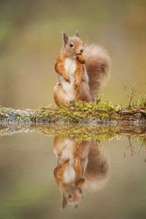 Red Squirrel (Sciurus Vulgaris) at Woodland Pool, Feeding on Nut, Scotland, UK