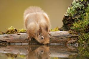 Red Squirrel (Sciurus Vulgaris) Drinking from Woodland Pool, Scotland, UK, November by Mark Hamblin