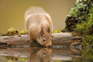 Red Squirrel (Sciurus Vulgaris) Drinking from Woodland Pool, Scotland, UK, November by Mark Hamblin