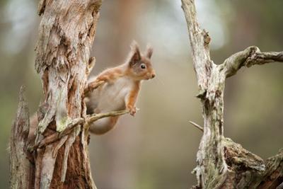 Red Squirrel (Sciurus Vulgaris) on Old Pine Stump in Woodland, Scotland, UK, November