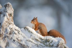 Red Squirrel (Sciurus Vulgaris) on Pine Stump in Snow, Scotland, UK, December by Mark Hamblin