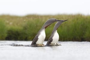 Red-Throated Diver (Gavia Stellata) Adult Pair Displaying on Loch, Flow Country, Scotland, UK by Mark Hamblin