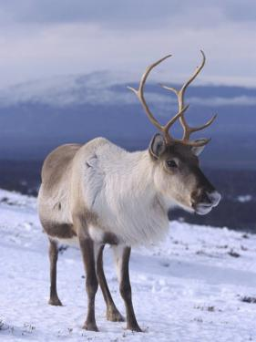 Reindeer, Standing in Snow in Winter, Scotland by Mark Hamblin
