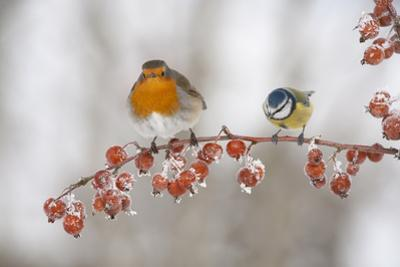 Robin (Erithacus Rubecula) and Blue Tit (Parus Caeruleus) in Winter, Perched on Twig, Scotland, UK