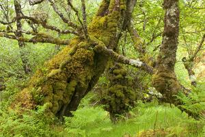 Silver Birch (Betula Pendula) with Trunk Covered in Moss in Natural Woodland, Highlands, Scotland by Mark Hamblin
