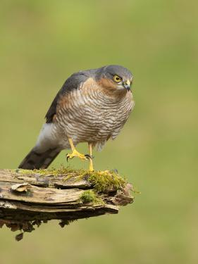 Sparrowhawk (Accipiter Nisus) Adult Male. Scotland, UK, February by Mark Hamblin