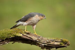 Sparrowhawk (Accipiter Nisus) Adult Male. Scotland, UK, February by Mark Hamblin