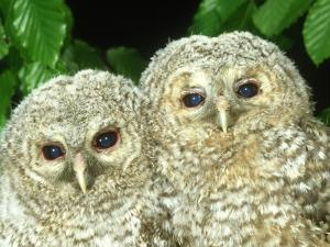Tawny Owl, Strix Aluco Chicks, Close-up Portraits W. Yorks, UK by Mark Hamblin