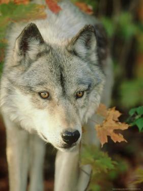 Timber Wolf, Close-up Portrait in Autumn Foliage, USA by Mark Hamblin