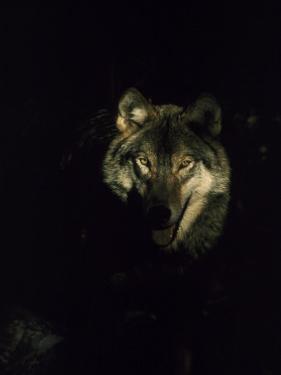 Timber Wolf, USA by Mark Hamblin