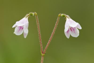 Twinflower (Linnaea Borealis) in Flower in Pine Woodland, Abernethy National Nr, Scotland, UK by Mark Hamblin