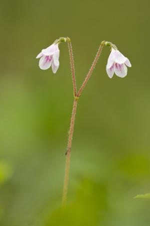 Twinflower (Linnaea Borealis) in Flower in Pine Woodland, Abernethy Reserve, Cairngorms, Scotland by Mark Hamblin