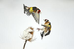 Two Goldfinches (Carduelis Carduelis) Squabbling over Common Teasel Seeds, Cambridgeshire, UK by Mark Hamblin