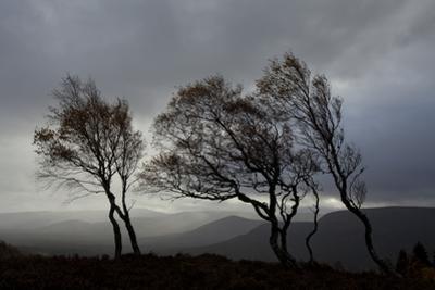 Windswept Silver Birch Trees (Betula Pendula) Silhouetted, Cairngorms Np, Scotland, UK, November