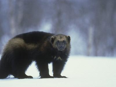 Wolverine, Adult Standing on Snow, Winter by Mark Hamblin