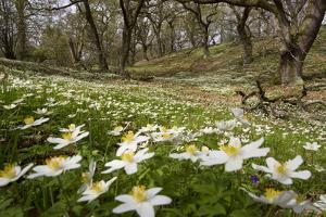 Wood Anemones (Anemone Nemorosa) Growing in Profusion on Woodland Floor, Scotland, UK, May 2010 by Mark Hamblin