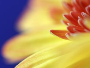 Yellow Daisy, Scotland by Mark Hamblin