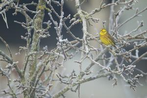 Yellowhammer (Emberiza Citrinella) Male Perched in Frost, Scotland, UK, December by Mark Hamblin