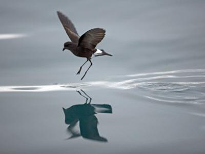 Antarctic Peninsula, Hope Bay, Wilson's Storm Petrel Seems to Walk across Surface of Water