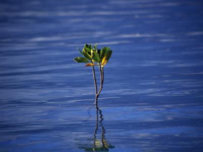 Emerging Mangrove, Seychelles by Mark Hannaford