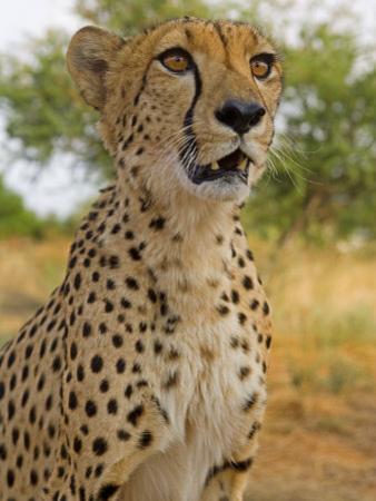 Erongo Region, Damarland, A Cheetah, Namibia by Mark Hannaford