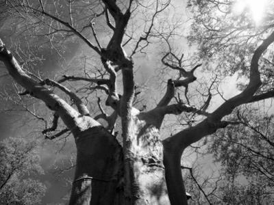 Malawi, Upper Shire Valley, Liwonde National Park; the Spreading Branches of a Massive Baobab Tree by Mark Hannaford