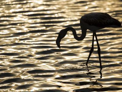 Namibia, Walvis Bay; Flamingo Filter Feeding in Walvis Bay Lagoon at Sunset by Mark Hannaford
