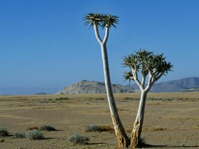 Quiver Tree and Bloodkopje Northern Section of Park by Mark Hannaford