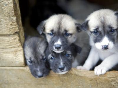 Troms, Tromso, Young Husky Puppies, Bred for a Dog Sledding Centre, Crowd Kennel Doorway , Norway by Mark Hannaford