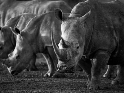 White Rhinoceros or Square-Lipped Rhinoceros Which Is One of the Few Remaining Megafauna Species by Mark Hannaford