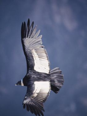 Andean Condor, Adult Female in Flight, Colca Canyon, Southern Peru by Mark Jones