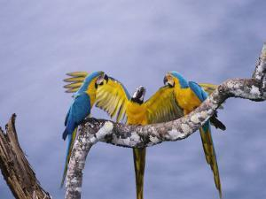 Blue and Yellow Macaw, Family, Peruvian Amazon by Mark Jones