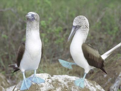 Blue Footed Booby, Elaborate Courtship Dance, Galapagos by Mark Jones
