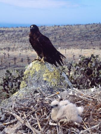 Galapagos Hawk, with Chick on Nest, Galapagos