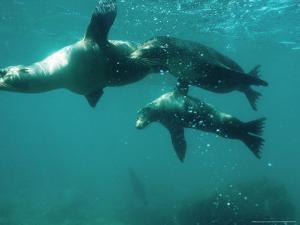 Galapagos Sea Lion, Pups Cavorting, Galapagos by Mark Jones
