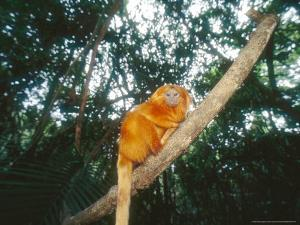 Golden Lion Tamarin, Poco Das Antas Reserve, Brazil by Mark Jones