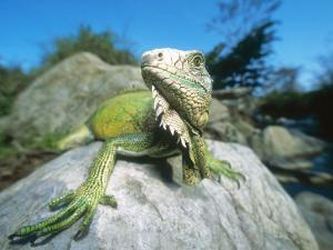 Green Iguana in Stream-Side Natural Habitat, Lambayeque Province, Peru by Mark Jones