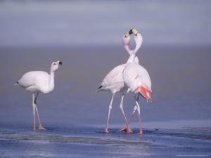 Jamess Flamingo, Males Squabbling, Laguna Hedionda, Bolivia by Mark Jones