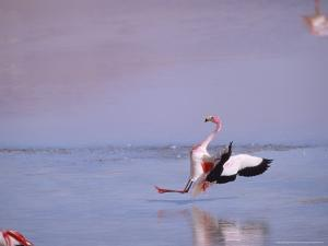 Jamess Flamingo, Slippery Landing, Laguna Colorada, Bolivia by Mark Jones