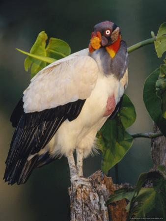 King Vulture, with Full Crop, Tambopata River, Peruvian Amazon